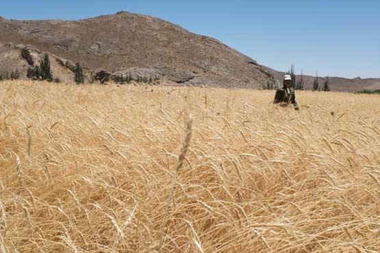 معاون وزیر جهاد کشاورزی: جلوگیری از خروج ۳ میلیون دلار با خودکفایی گندم و شکر